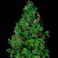 Purchase MEMBRANA HIPER AUTO 10 Seeds (VIP SEEDS)
