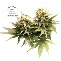 Purchase MASTER KUSH REGULAR - 10 seeds