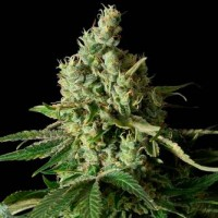 Purchase MOBY DICK CBD