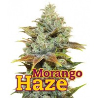 Purchase MORANGO HAZE 10 Seeds (FAMILY GANJAH)
