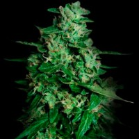 Purchase NORTHERN DELIGHTS AUTO 10 Seeds (VIP SEEDS)