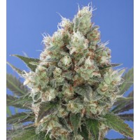Purchase Northern City Haze: 10 seeds