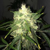 Purchase OG Kush Auto 5 Seeds