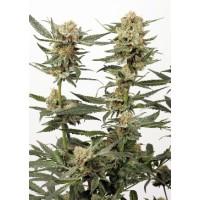 Purchase ORTEGA INDICA - 5 seeds