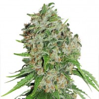 Purchase Outlaw - 3 seeds fem (Dutch Passion)