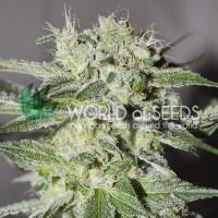 Purchase Pakistan Valley Regular - 10 Seeds