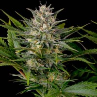 Purchase PINEAPPLE SKUNK