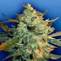 Purchase Power Skunk - 5 seeds