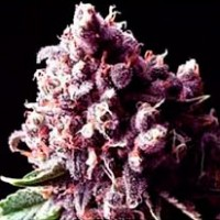 Purchase  Purple Pinecone - 5 seeds