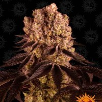 Purchase PURPLE PUNCH