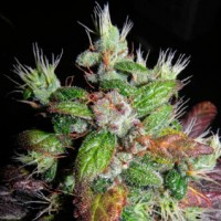 Purchase  Rhode Island Skunk - 5 seeds