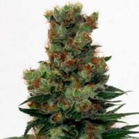 Purchase Ripper Badazz Regular - 12 Seeds