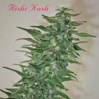 Purchase RISHI KUSH - REGULAR - 10 SEEDS