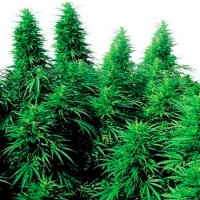 Purchase RUDERALIS SKUNK REGULAR (SENSI SEEDS)