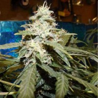 Purchase SHORT RIDER AUTO 5 SEEDS