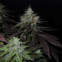 Purchase SWISS CHEESE FEM 5 SEEDS