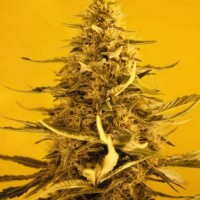 Purchase White Widow Auto 5 Seeds