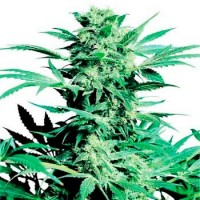 Purchase SHIVA SKUNK (SENSI SEEDS)