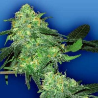 Purchase Skunk Classic - 5 seeds