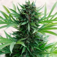 Purchase SOUR DIESEL AUTO