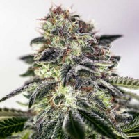 Purchase Sticky Dream Express - 5 seeds
