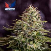 Purchase Sticky Dream - 5 seeds