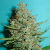 Purchase  Super Crystal - 5 seeds