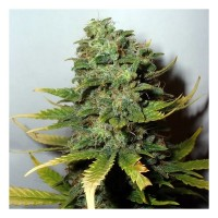 Purchase SUPER SKUNK FEM 5 SEEDS