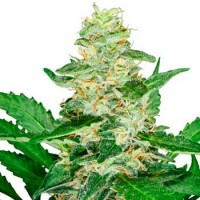 Purchase Super Skunk Automatic (Sensi Seeds)