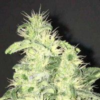 Purchase Supreme CBD Kush 5 Seeds