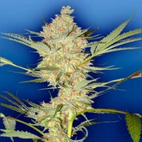 Purchase THE REAL McCOY - 10 seeds