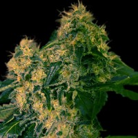 Purchase TORPEDO 5 Seeds (VIP SEEDS)