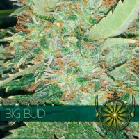 Purchase BIG BUD