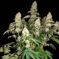 Purchase  White Caramel Cookie  - 3 seeds