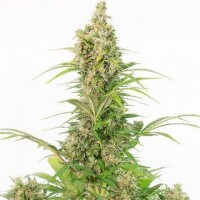 Purchase White Widow Autoflowering CBD