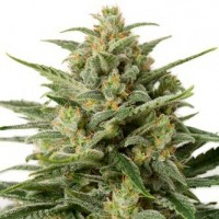 Purchase WHITE WIDOW XXL AUTO