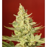 Purchase White Diesel 3 seeds