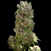 Purchase WHITE SPANISH 5 Seeds (VIP SEEDS)