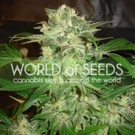 Mazar kush: 12 semillas