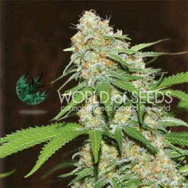 Mazar x White Rhino - 3 seeds