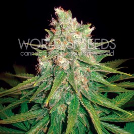 Mazar x Great White Shark - 7 seeds