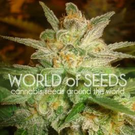 Star 47 - 3 seeds
