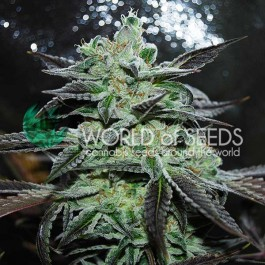 Strawberry Blue - 3 seeds