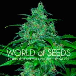 Wild Thailand - 7 seeds