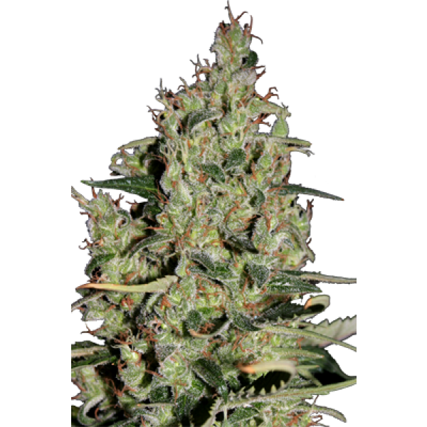 AUTO CRITICAL - 5 UNDS. (SEED MAKERS) - Root Catalog - Todos los Productos