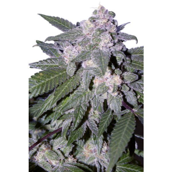 AUTO BLUE - 5 UNDS. (SEED MAKERS) - Root Catalog - Todos los Productos