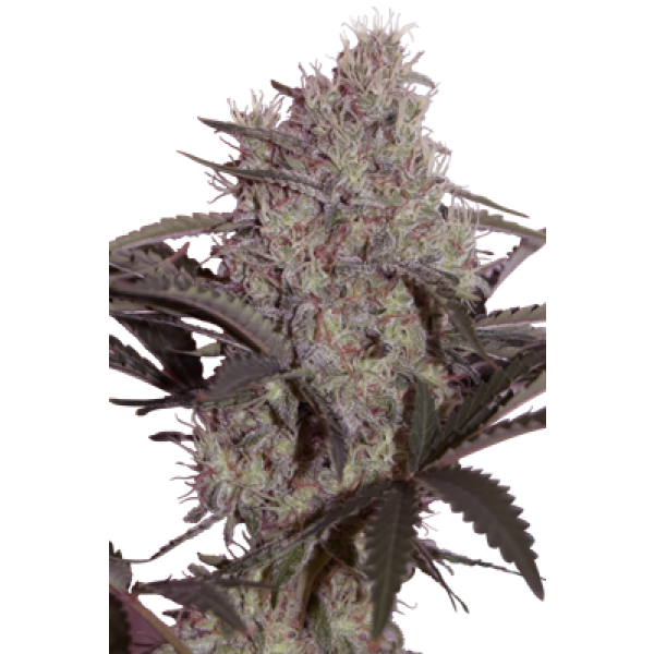 JACK WIDOW - 5 UNDS. (SEED MAKERS) - Root Catalog - Todos los Productos