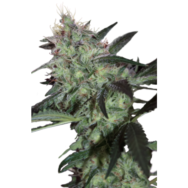 SUPER DIESEL - 5 UNDS. (SEED MAKERS) - Root Catalog - Todos los Productos