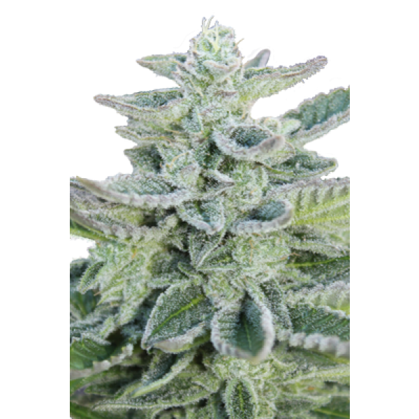 SUPER KUSH - 5 UNDS - (SEED MAKERS) - Root Catalog - Todos los Productos