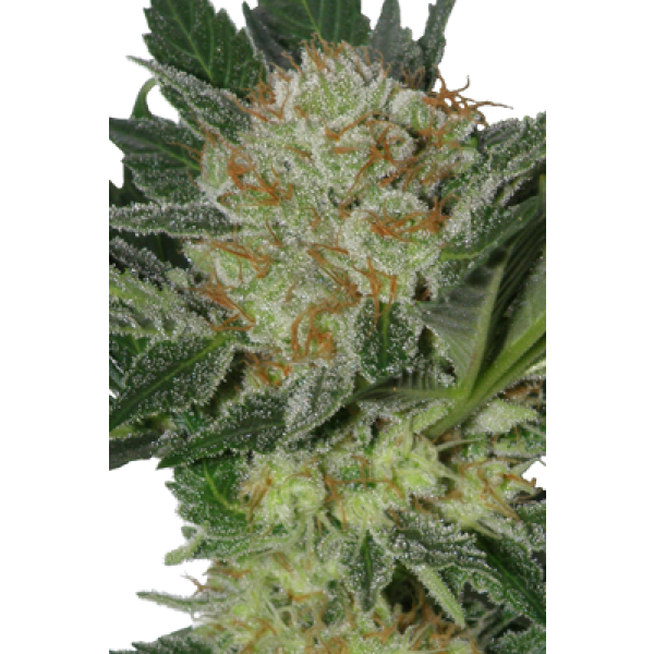WIDOW - 5 UNDS. (SEED MAKERS) - Root Catalog - Todos los Productos